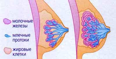 Ареола, то есть область вокруг соска, темнеет и также увеличивается в. женщ